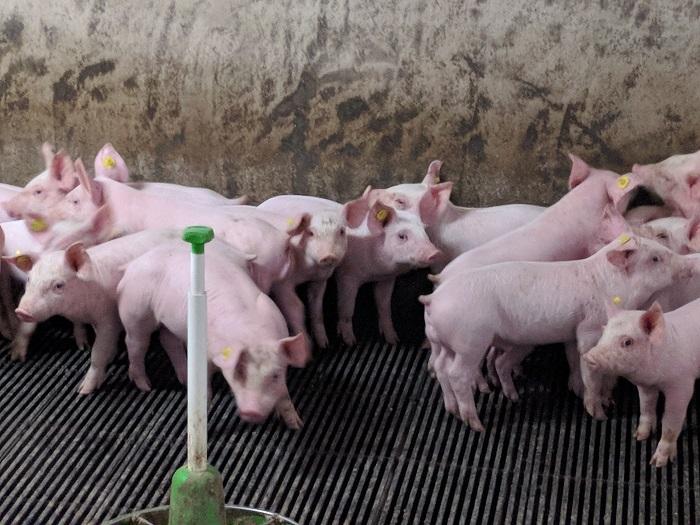 Vleesvarkens - HAS Blog - HAS Hogeschool