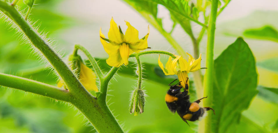 Hommel tomaatplant - HAS blog - HAS Hogeschool