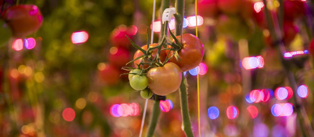 Tomaten HAS kas - HAS blog - HAS Hogeschool