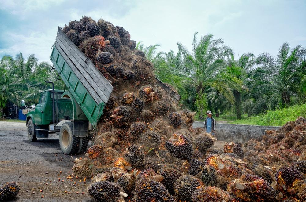 Palmolie fruit wordt gelost op plantage MVO - HASblog - HAS Hogeschool